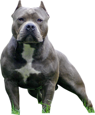Pit bull vs. staffordshire terrier vs. American bully - BabyGaga