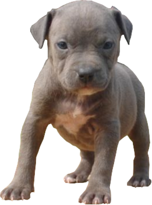Blue Pitbull Puppies on Psd Detail   Blue Pitbull Puppy   Official Psds