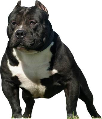 vector american bully pictures to pin on pinterest pinsdaddy. Black Bedroom Furniture Sets. Home Design Ideas