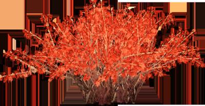 Redbone arbusto
